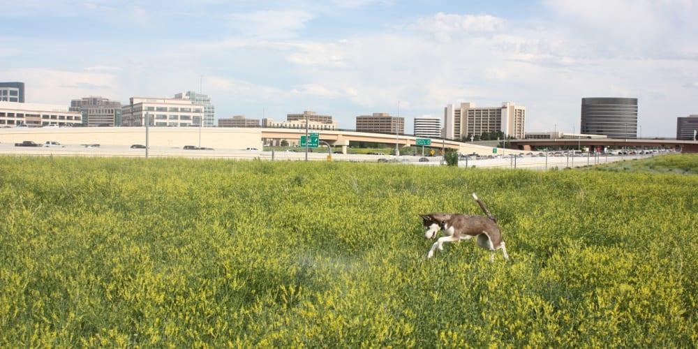 Denver Tech Center Skyline Husky Dog